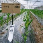 トウモロコシ試験