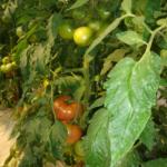 トマトグループ